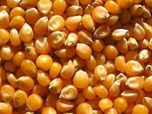 Maize 20kg : Bulk prices per tonne available on request.